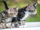 dysplasie de la hanche du chat  Mutuelle santé animaux domestiques