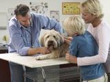 hepatite contagieuse chez le chien